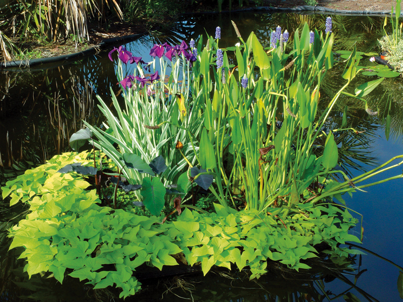 Растения для водоемов: прибрежные и болотные растения