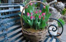 Видео 34. Выгонка тюльпанов