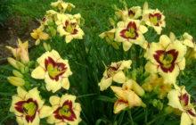 Модные лилейники в саду