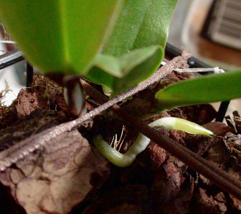 Как восстановить корни пафиопедилюма