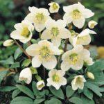 Морозник: описание цветка, сорта и виды морозника, размножение морозника, вредители растения.