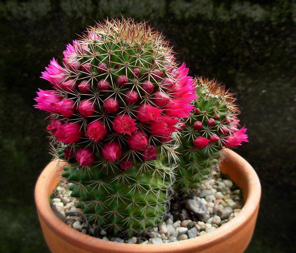 Виды кактусов: пустынные кактусы, кактусы гор, травинистых равнин, сухих и влажных лесов