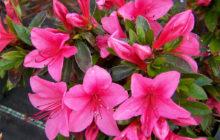 Описание цветка Азалия
