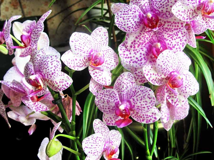 Фаленопсис (орхидея): описание растения, посадка фаленопсиса, основной уход за фаленопсисом