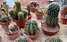 Необходимый уход за кактусами