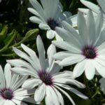 Рипсалидопсис — описание, уход, посадка, размножение, применение