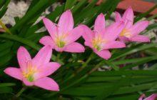 Зефирантес крупноцветковый: описание, размножение, уход, посадка, применение в саду, фото, сорта и виды