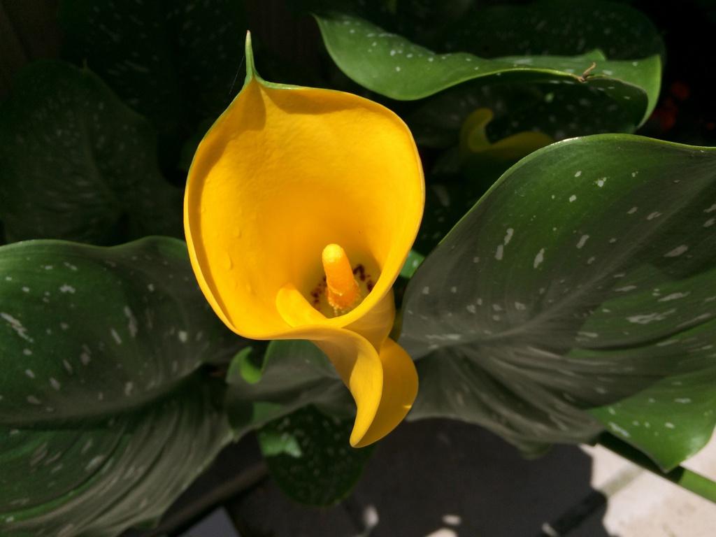 Калла (Зантедехия): описание, размножение, уход, посадка, применение в саду, фото, сорта и виды