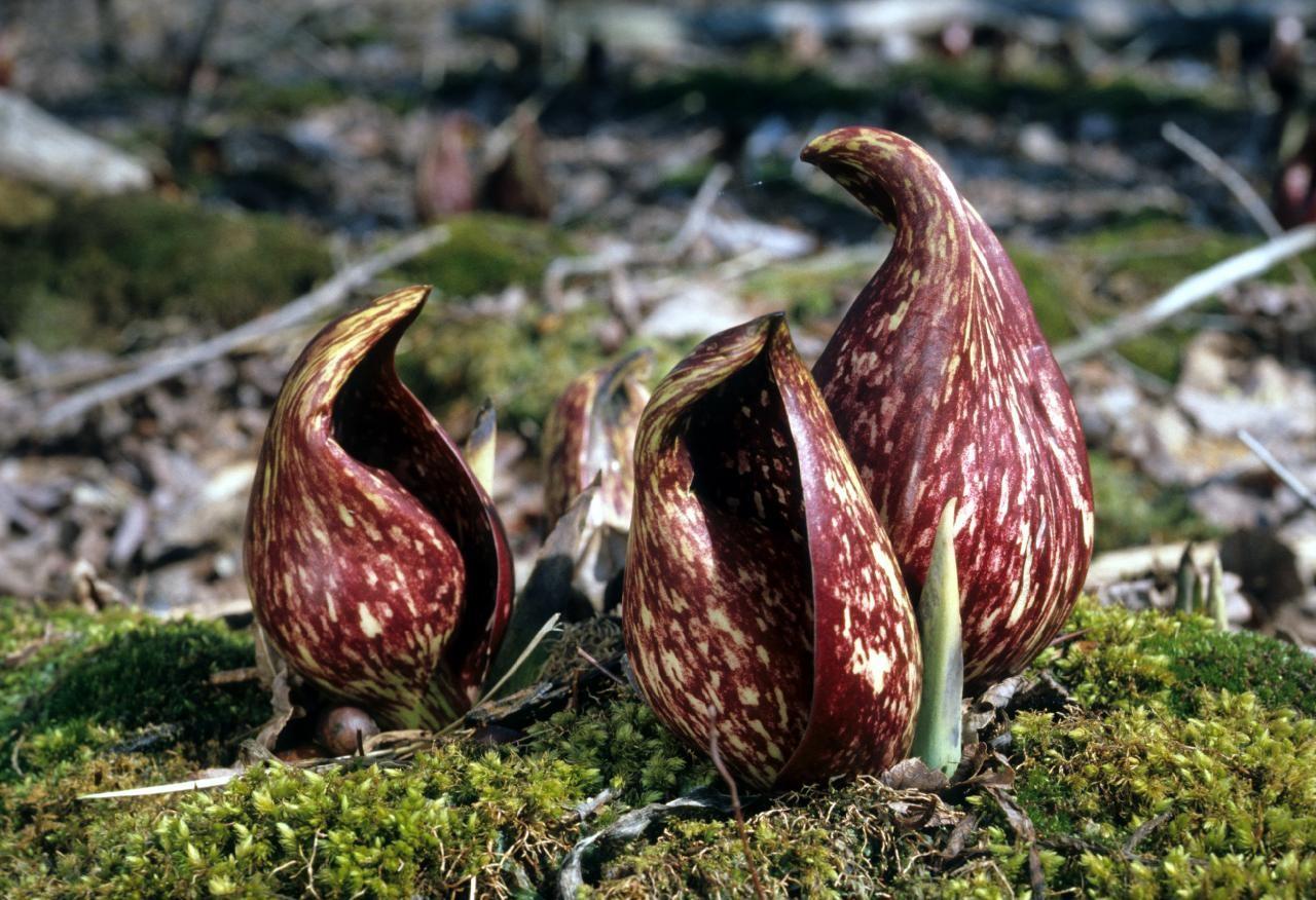 Симплокарпус: описание, размножение, уход, посадка, применение в саду, фото, сорта и виды
