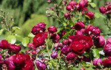 Цинерария: описание, размножение, уход, посадка, применение в саду, фото, сорта и виды