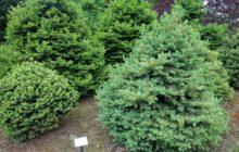 Сосна обыкновенная: описание, размножение, уход, посадка, применение в саду, фото, сорта и виды