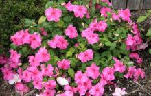 Бальзамин (Недотрога): описание, размножение, уход, посадка, применение в саду, фото, сорта и виды