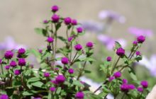Гомфрена: описание, размножение, уход, посадка, применение в саду, фото, сорта и виды