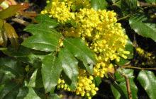 Магония падуболистная: описание, размножение, уход, посадка, применение в саду, фото