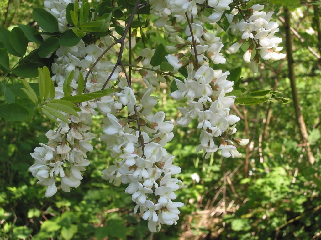Акация белая: описание, размножение, уход, посадка, применение в саду, фото, сорта и виды