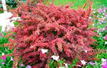 Барбарис обыкновенный: описание, размножение, уход, посадка, применение в саду, фото, сорта и виды