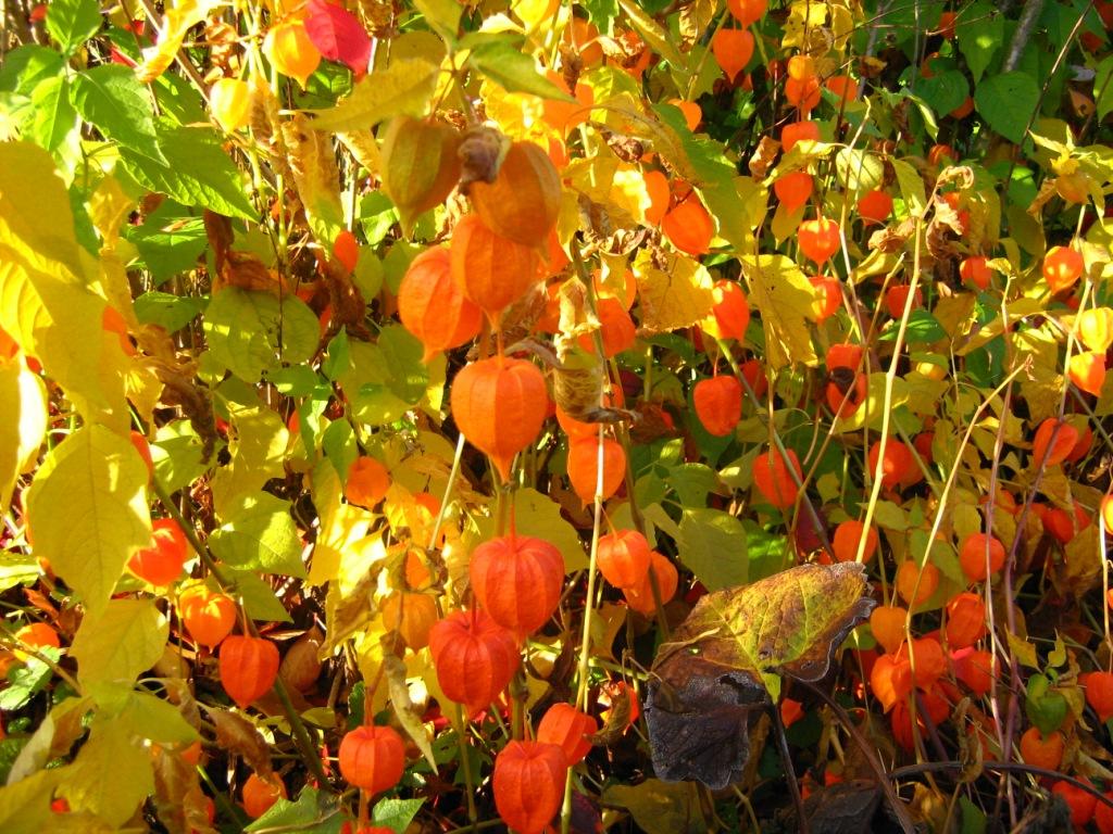 Физалис: описание, размножение, уход, посадка, применение в саду, фото, сорта и виды