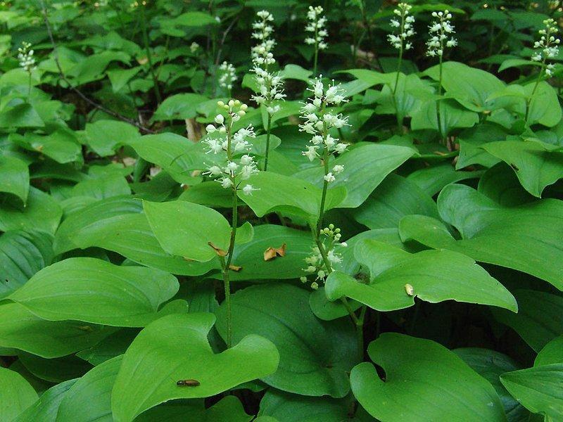 Майник: описание, размножение, уход, посадка, применение в саду, фото, сорта и виды