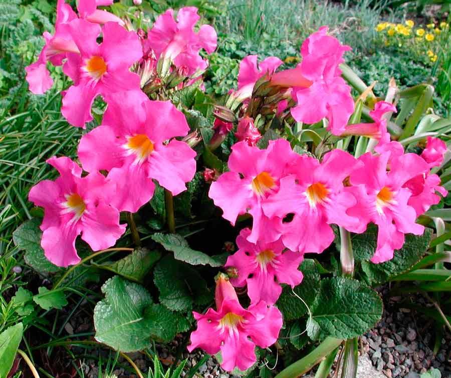 Коммелина: описание, размножение, уход, посадка, применение в саду, фото, сорта и виды