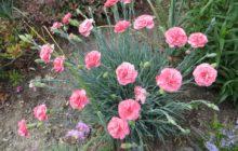 Гвоздика многолетняя травянка: описание, размножение, уход, посадка, применение в саду, фото, сорта и виды