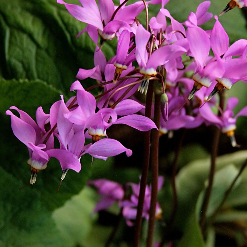 Додекатеон: описание, размножение, уход, посадка, применение в саду, фото, сорта и виды