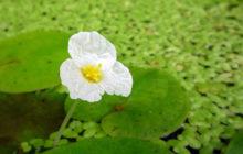 Водокрас: описание, размножение, уход, посадка, применение в саду, фото, сорта и виды