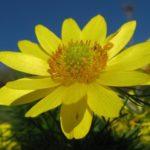 Адонис (Горицвет): описание, размножение, уход, фото