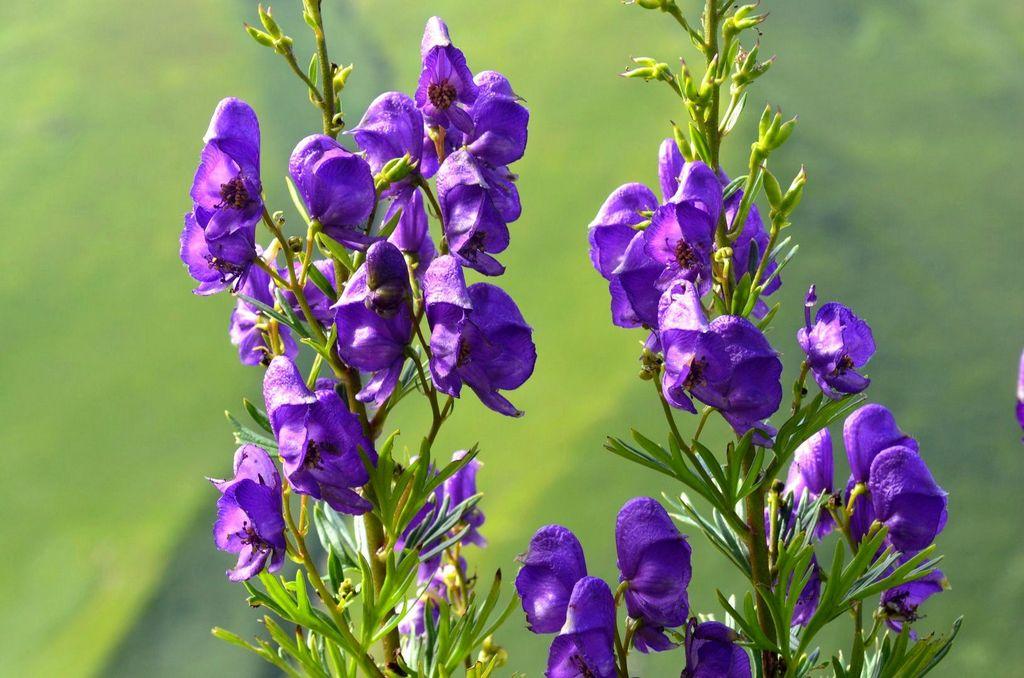 Аконит (Борец): описание, размножение, уход, посадка, применение в саду, фото, сорта и виды