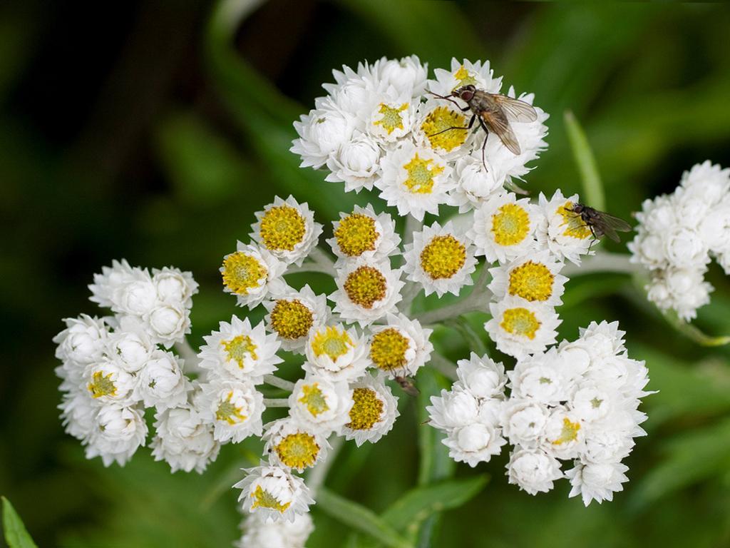 Анафалис: описание, размножение, уход, посадка, применение в саду, фото, сорта и виды