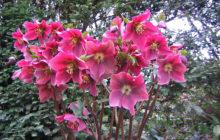 Эремурус: описание, размножение, уход, посадка, применение в саду, фото, сорта и виды