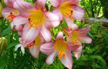 Четыре способа размножения лилии