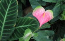 Нектароскордум: описание, размножение, уход, посадка, применение в саду, фото, сорта и виды