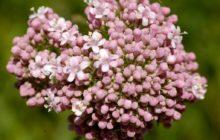 Валериана: описание, размножение, уход, посадка, применение в саду, фото, сорта и виды
