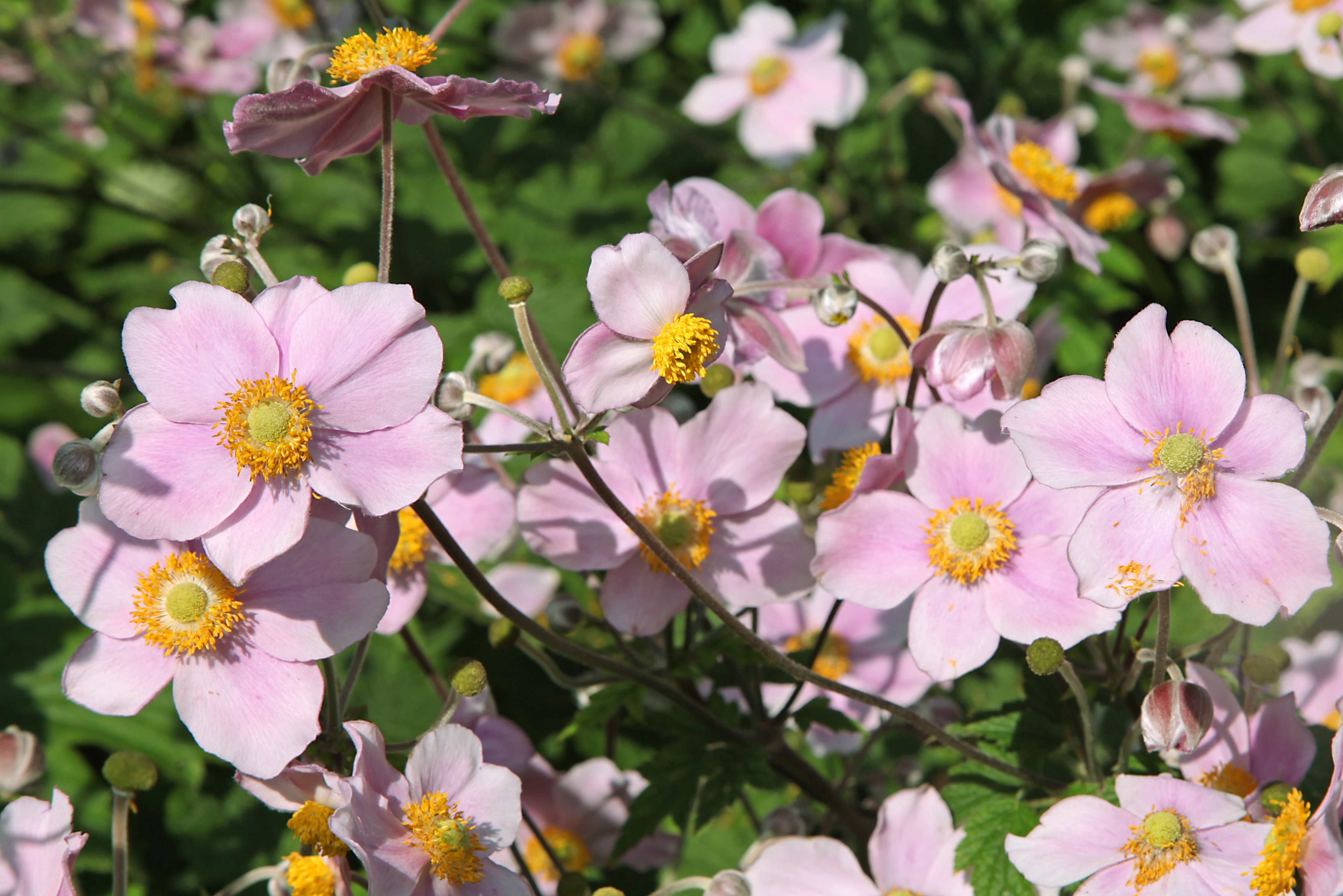 Ветреница: описание, размножение, уход, посадка, применение в саду, фото, сорта и виды
