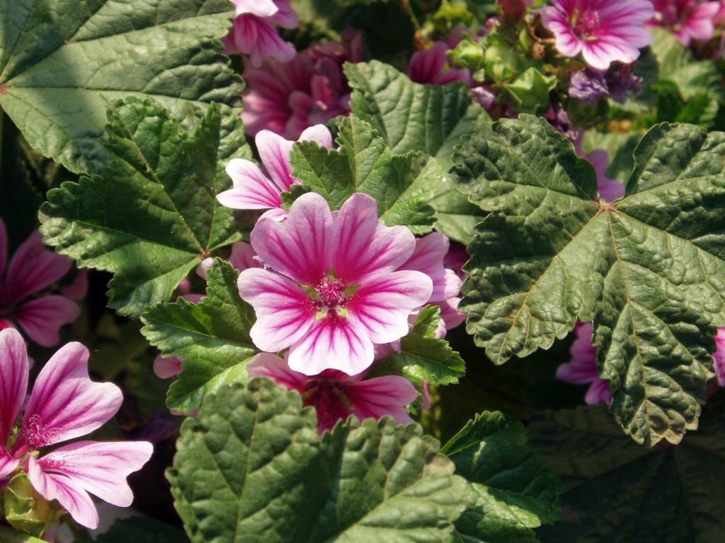Мальва (Шток-роза): описание, применение, размножение, фото