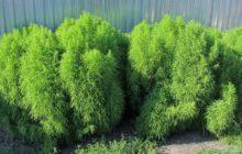 Кохия (Однолетний кипарис): описание, размножение, уход, посадка, применение в саду, фото, сорта и виды