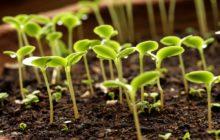 Семенное размножение комнатных растений