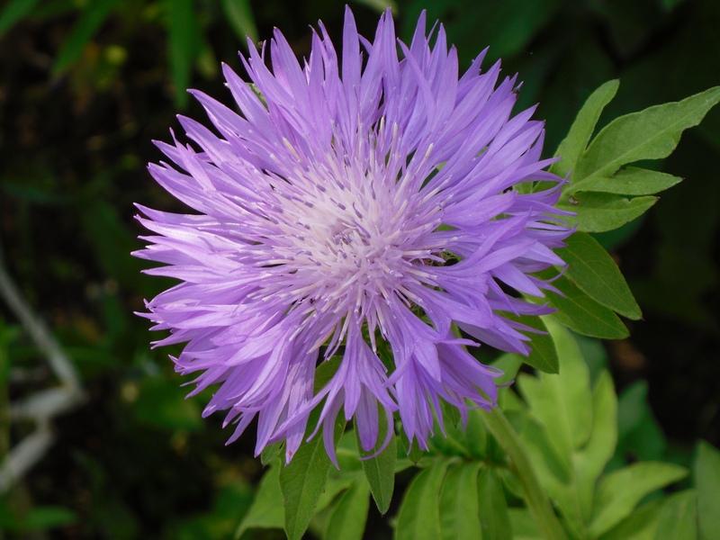 Василек горный: описание, размножение, уход, посадка, применение в саду, фото, сорта и виды