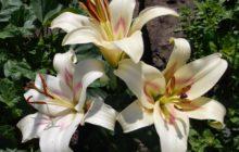 Лилия: описание, размножение, уход, посадка, применение в саду, фото, сорта и виды