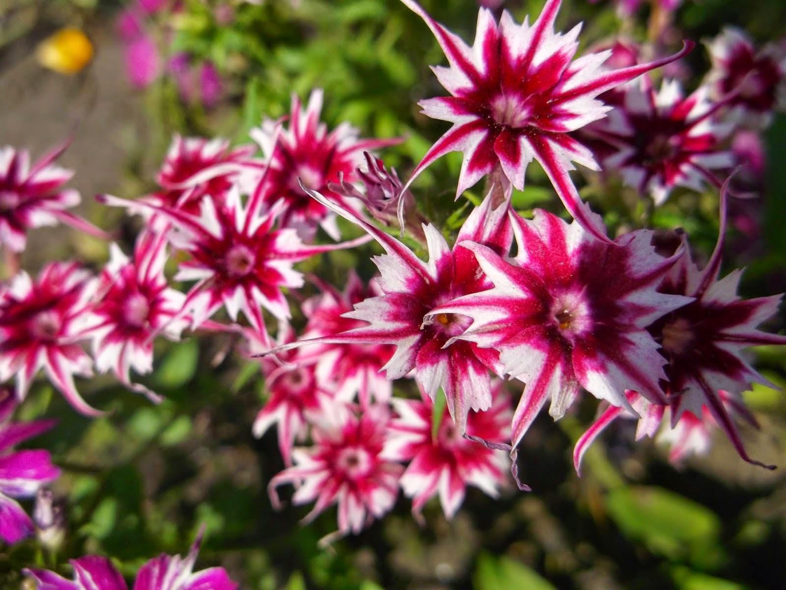 Равноплодник: описание, размножение, уход, посадка, применение в саду, фото, сорта и виды