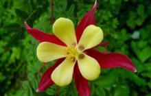 Бродиэя: описание, размножение, уход, посадка, применение в саду, фото, сорта и виды