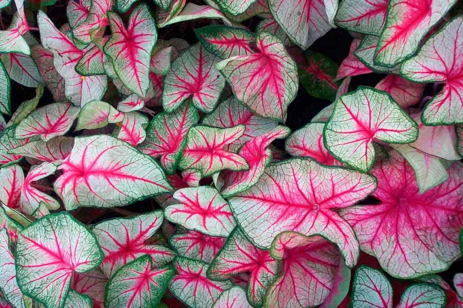 Каладиум (Ангельские крылья): описание цветка, выращивание каладиума, проращивание клубней, посадка каладиума.
