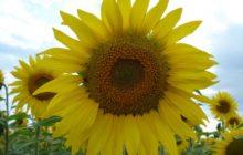 Подсолнечник декоративный: описание, размножение, уход, посадка, применение в саду, фото, сорта и виды