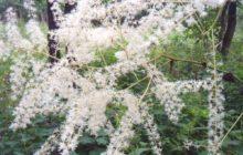 Цимицифуга (Клопогон): описание, размножение, уход, посадка, применение в саду, фото, сорта и виды