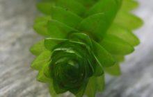 Элодея: описание, размножение, уход, посадка, применение в саду, фото, сорта и виды