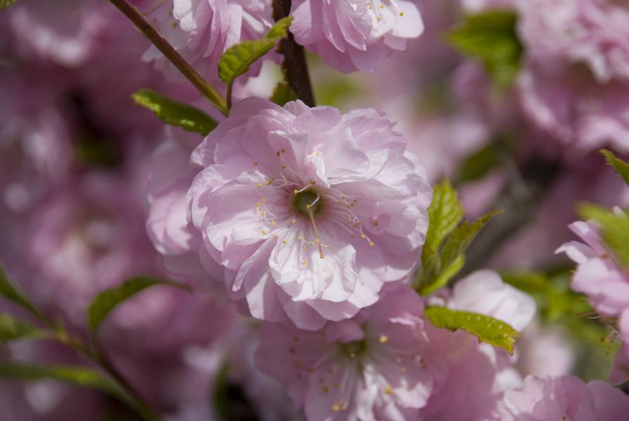 Повой (Калистегия): описание цветка, посадка повоя, основной уход за растением.
