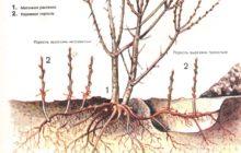 Вырезка корневой поросли
