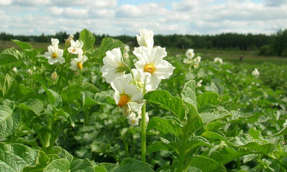 Белые цветки картофеля