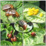 Колорадский жук и его личинки с яйцекладом