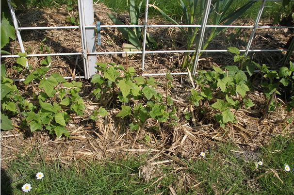 Кусты смородины, высаженные вдоль забора